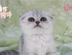 小米猫苑繁殖血统纯正可爱呆萌折耳小宝贝