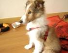 北京哪有苏格兰牧羊犬卖 北京苏格兰牧羊犬多少钱 苏牧犬图片