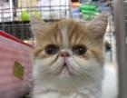 宠物猫金渐层长期出售美短英短布偶德文无毛猫