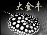 皇冠黑白魟鱼 大小鱼的批发零售,极品皇冠黑白魟鱼,正品保证