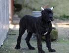 贵阳哪里有卡斯罗卖卡斯罗犬幼犬贵阳卡斯罗多少钱一只卡斯罗图片
