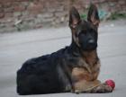 纯那种双血统德国牧羊犬黑背健康保障60天 送货上门