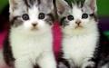 绵阳哪里有卖美短猫 绵阳纯种美短猫多少钱 绵阳美短猫价格