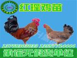 东升禽苗孵化公司出售专业的鸡苗|贵州鸡苗价格