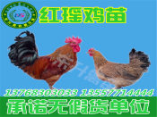 想买好的鸡苗就到东升禽苗孵化公司 ——铜仁土鸡苗