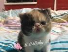 2个月加菲猫出售