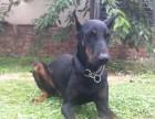 温州哪里有纯种健康的杜宾可视频选狗可签协议