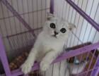 成都哪卖纯种折耳猫便宜成都宠物店折耳猫多少钱一只