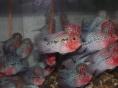 泰国罗汉鱼专卖