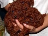 武汉那里有泰迪犬卖 武汉泰迪犬价格 武汉泰迪犬多少钱