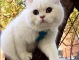 上海广州深圳北京卖折耳猫 淘宝搜:双飞猫