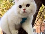 上海广州深圳北京卖折耳猫 搜:双飞猫