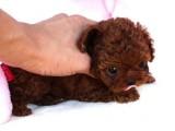 出售纯种家养泰迪幼犬 免费领养家养泰迪幼犬包纯种健康可协议