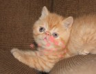 南宁哪里有卖加菲猫幼崽 南宁较便宜加菲猫多少钱一只保健康