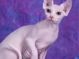 布偶猫 高端 治愈系甜美可爱