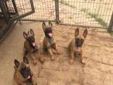 纯种高品质比利时马犬易训练 最时尚的警犬军犬