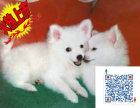 哪里有卖银狐犬的 银狐犬一般多少钱