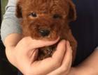 淄博哪里有泰迪犬出售 纯种泰迪犬价格 茶杯泰迪幼犬哪里有卖