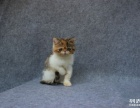 黄白花 身黄加菲猫 纯黄色加菲猫宠物猫出售 DDMM