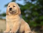 精品出售金毛 金毛幼犬公母均有 品质超群 英美系金毛犬