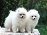 鄭州出售 純種博美幼犬 狗狗出售 可簽協議健康保障
