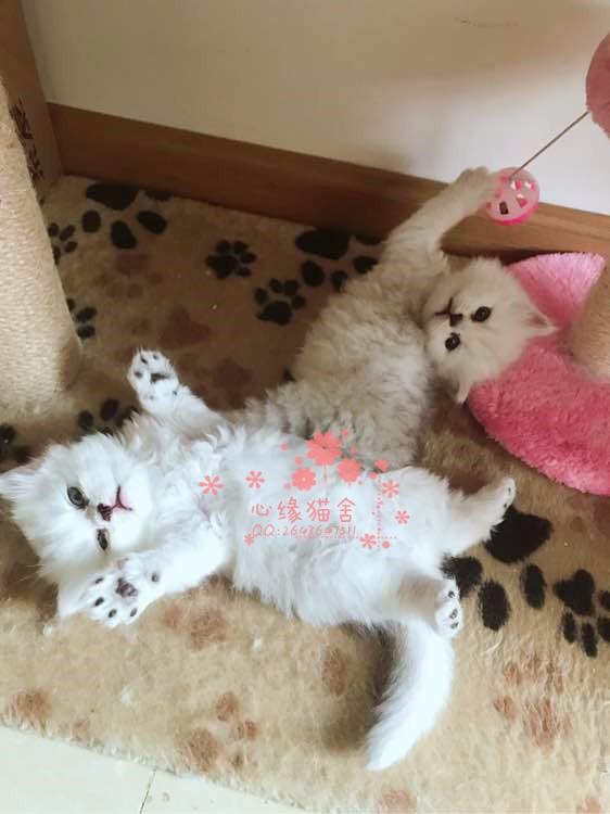 无锡哪里有正规宠物店买卖布偶猫 无锡较便宜布偶猫多少钱