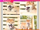 日系賽級柴犬專賣 訓練過:坐 立 臥 上廁所都會