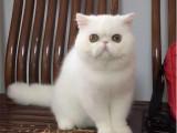 四川成都纯血加菲猫一般多少钱一只