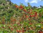 北宅大型樱桃采摘园欢迎您