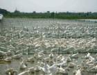 想致富养殖路养鸡养鸭养鹅批发优质鸡苗鸭苗鹅苗