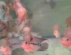 进口泰国渔场一手罗汉鱼