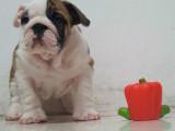 家养一窝纯种法国斗牛犬可以签协议 来家里看狗父母