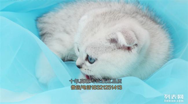 西双版纳买猫 专业繁殖 苏折英短美短蓝猫折耳猫 包纯种保健康