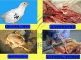 鸡得了支气管栓塞出现咳嗽 伸脖怪叫的现象最有效的治疗