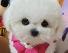 比熊犬纯种家养繁殖比熊狗出售精品家养活体宠物狗