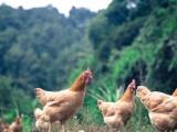 熙态农业品牌简介:为健康,养好鸡是我们的企业使命