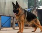 兰州纯种德国牧羊犬价格 兰州哪里能买到纯种德国牧羊犬