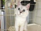 金吉拉猫1300 猫咪价格以标题价格为准