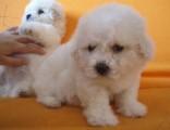 北京犬舍纯种比熊犬幼犬茶杯犬袖珍犬活体比熊幼犬