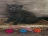 无锡宠物猫 蓝猫 渐层 蓝白 同城上门挑选