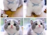 赤峰美短 蓝白 布偶猫舍地址 全国发货 也可视频挑选