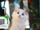 深圳哪里有宠物店 深圳哪里卖宠物猫便宜 深圳布偶猫价格