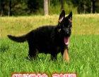 较好的看家能手 德国牧羊犬是很忠厚凶猛 黑背德牧