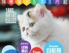 伊甸园名猫舍 专业繁育纯种猫十六年