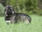 纯种高加索幼犬是巨型的 很可爱的高加索找个新主人带走