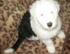 古代牧羊犬幼犬多少钱一只