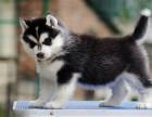 超帅气赛级哈士奇幼犬多种颜色可选优选品质保障