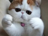 广州纯种加菲猫价格多少 加菲猫图片 加菲猫视频