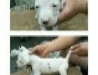 出售杜高犬幼犬、成母,