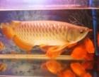 家养金龙鱼体长55公分